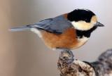 BIRD - TIT - VARIED TIT - KINOHIROBA PARK, ABASHIRI HOKKAIDO JAPAN (3).JPG