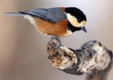 BIRD - TIT - VARIED TIT - KINOHIROBA PARK, ABASHIRI HOKKAIDO JAPAN (6).JPG