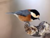 BIRD - TIT - VARIED TIT - KINOHIROBA PARK, ABASHIRI HOKKAIDO JAPAN (7).JPG