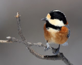 BIRD - TIT - VARIED TIT - KINOHIROBA PARK, ABASHIRI HOKKAIDO JAPAN (8).JPG