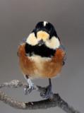 BIRD - TIT - VARIED TIT - KINOHIROBA PARK, ABASHIRI HOKKAIDO JAPAN (9).JPG