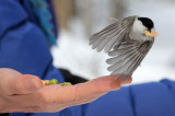 BIRD - TIT - WILLOW TIT - KINOHIROBA PARK - ABASHIRI - HOKKAIDO JAPAN.JPG