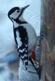 BIRD - WOODPECKER - GREAT SPOTTED WOODPECKER - YOROUSHI ONSEN DAIICHI LODGE, HOKKAIDO JAPAN] (2).JPG