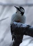 BIRD - WOODPECKER - GREAT SPOTTED WOODPECKER - YOROUSHI ONSEN DAIICHI LODGE, HOKKAIDO JAPAN] (7).JPG
