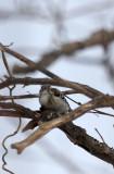 BIRD - WOODPECKER - JAPANESE PYGMY WOODPECKER - KINOHIROBA PARK - ABASHIRI - HOKKAIDO JAPAN (2).JPG