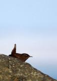 BIRD - WREN - WINTER WREN - HANASAKI CAPE - NEMURO PENINSULA - HOKKAIDO JAPAN (2).JPG