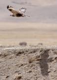 BIRD - BUZZARD - UPLAND BUZZARD - QINGHAI LAKE CHINA (11).JPG