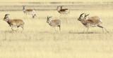 BOVID - GAZELLE - PRZEWALSKI'S GAZELLE - QINGHAI LAKE CHINA (122).JPG