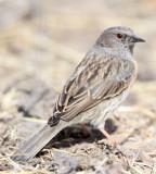 BIRD - ACCENTOR - ALPINE ACCENTOR - PRUNELLA COLLARIS - QINGHAI LAKE CHINA.JPG