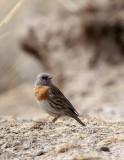 BIRD - ACCENTOR - ROBIN ACCENTOR - PRUNELLA - QINGHAI LAKE CHINA (2).JPG