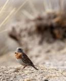 BIRD - ACCENTOR - ROBIN ACCENTOR - PRUNELLA - QINGHAI LAKE CHINA (5).JPG