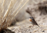 BIRD - ACCENTOR - ROBIN ACCENTOR - PRUNELLA - QINGHAI LAKE CHINA (8).JPG