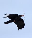 BIRD - COUGH - RED-BILLED COUGH - QINGHAI LAKE CHINA (2).JPG