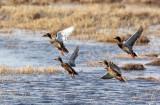 BIRD - DUCK - MALLARD - QINGHAI LAKE CHINA (2).JPG