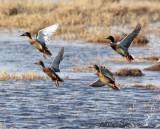 BIRD - DUCK - MALLARD - QINGHAI LAKE CHINA 3.jpg