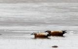 BIRD - DUCK - RUDDY SHELDUCK - QINGHAI LAKE CHINA (1).JPG