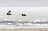 BIRD - DUCK - RUDDY SHELDUCK - QINGHAI LAKE CHINA (3).JPG