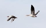 BIRD - GOOSE - GREYLAG GOOSE - QINGHAI LAKE 2.jpg