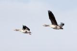 BIRD - GOOSE - GREYLAG GOOSE - QINGHAI LAKE CHINA (3).JPG