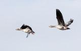 BIRD - GOOSE - GREYLAG GOOSE - QINGHAI LAKE CHINA (4).JPG