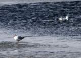 BIRD - GULL - BROWN-HEADED GULL - QINGHAI LAKE CHINA (2).JPG