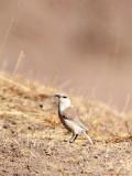 BIRD - HUME'S GROUNDPECKER - QINGHAI LAKE CHINA (3).JPG