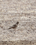BIRD - SKYLARK - ORIENTAL SKYLARK - QINGHAI LAKE CHINA (4).JPG