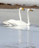 BIRD - SWAN - WHOOPER SWAN - QINGHAI LAKE CHINA (1).JPG