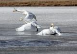 BIRD - SWAN - WHOOPER SWAN - QINGHAI LAKE CHINA (20).JPG