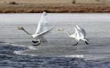BIRD - SWAN - WHOOPER SWAN - QINGHAI LAKE CHINA (23).JPG