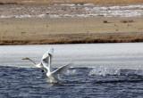 BIRD - SWAN - WHOOPER SWAN - QINGHAI LAKE CHINA (30).JPG
