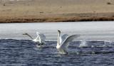 BIRD - SWAN - WHOOPER SWAN - QINGHAI LAKE CHINA (31).JPG