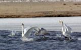 BIRD - SWAN - WHOOPER SWAN - QINGHAI LAKE CHINA (34).JPG