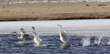 BIRD - SWAN - WHOOPER SWAN - QINGHAI LAKE CHINA (36).JPG