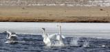 BIRD - SWAN - WHOOPER SWAN - QINGHAI LAKE CHINA (38).JPG