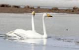 BIRD - SWAN - WHOOPER SWAN - QINGHAI LAKE CHINA (49).JPG