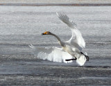 BIRD - SWAN - WHOOPER SWAN - QINGHAI LAKE CHINA (8).JPG