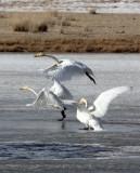 BIRD - SWAN - WHOOPER SWAN - QINGHAI LAKE CHINA 10.jpg