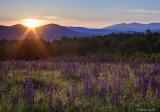 Lupines White Mts NH.jpg