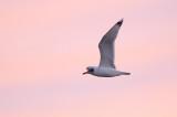 Svarthuvad trut - Pallas's Gull