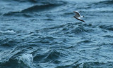 Sabine's Gull (Larus sabini)