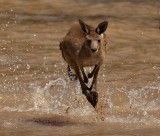 Roo In Water