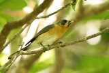 Spectacled Monarch Flycatcher