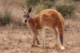 Red Kangaroo - Male