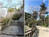 Sakura in Dazaifu