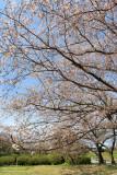 Branches of sakura