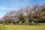 Sakura in Dazaifu park