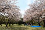 Sakura gathering