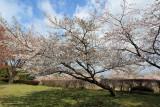 Sakura near Aso