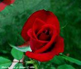 A Rose is a Rose.JPG